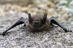Zwergfledermaus © Ewald Thies
