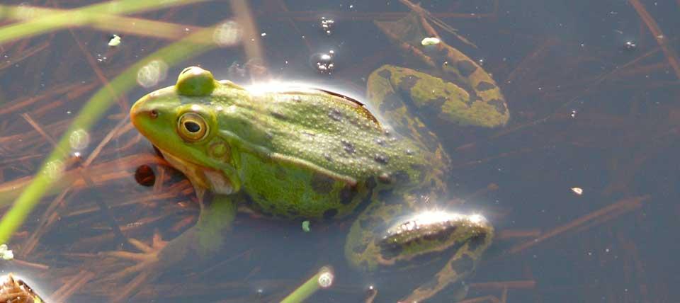 Kleiner Wasserfrosch © NABU NRW